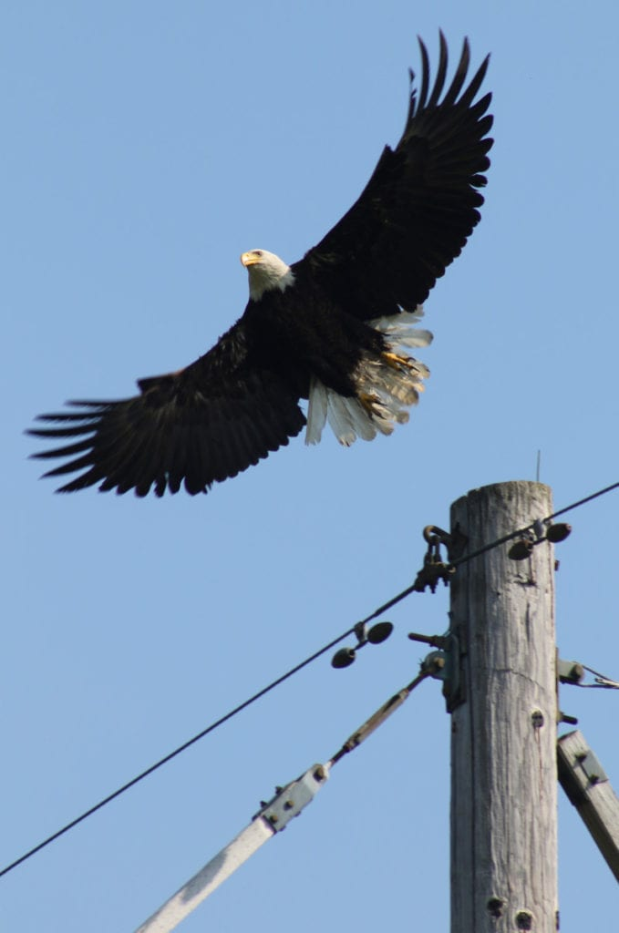 Just ahead of Memorial Day, a Bald Eagle, once endangered species, was spotted over the Colliersville Dam this morning. There are believed to be at least three nesting pairs of eagles in Otsego County. (Ian Austin/AllOTSEGO.com)